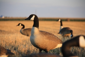 Well cared for decoys placed in family groups will attract geese for most of the fall.